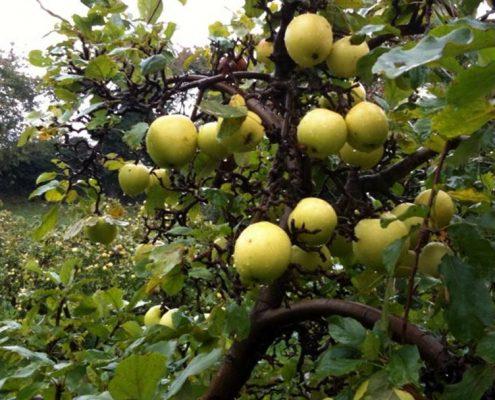 Alte Apfelsorten auf dem Bio-Obsthof Teutenberg