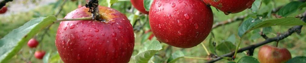Alte Apfelsorten auf dem BioObsthof
