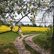 Heute beginnt das 15. Apfelblütenfest