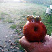 2 Schneckchen auf dem Äpfelchen