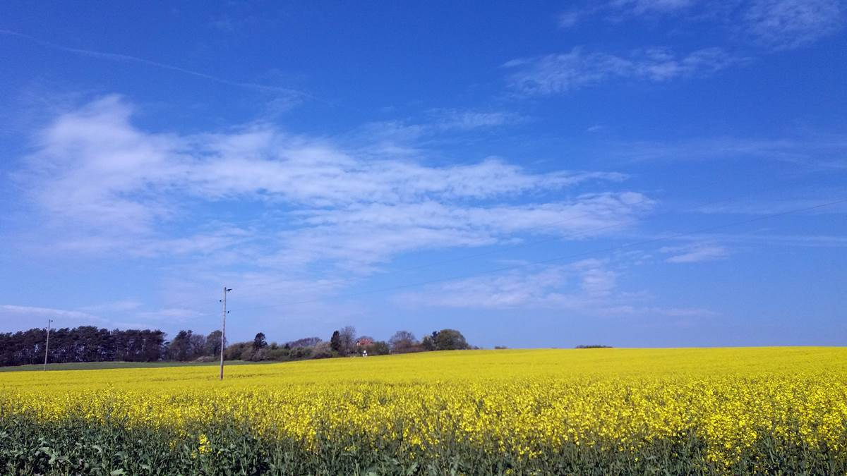 Rapsblüte im Mai - weit hinten das Häuschen im Naturparadies