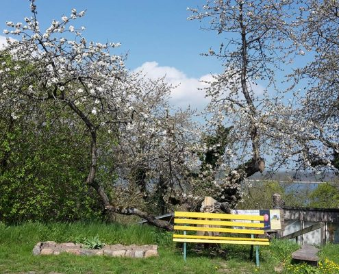 Kirschblüte in Middelhagen